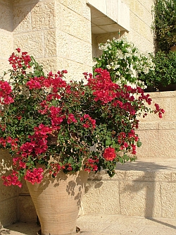 Bougainvillea at Hartman Institute